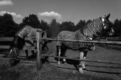 Faked zebra (Sir_Francis_Barney) Tags: horses pferde