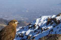 Aguilucho (Geoffrey Morier) Tags: aguilucho aguila ave eagle montañas mountain colors colores colours sky nature warming snow nieve cielo cerro hill provincia santiago chile trekking city canon photo photography raw lanscape paisaje viaje naturaleza