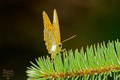 Butterfly (Jurek.P) Tags: butterflies butterfly perłowiecmalinowiec silverwashedfritillary motyle motyl macro closeup jurekp sonya77
