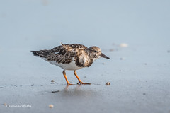 Ruddy Turnstone 500_5302.jpg (Mobile Lynn) Tags: turnstone wild birds ruddyturnstone nature arenariainterpres bird charadriiformes coastal fauna shorebird shorebirds wader waders wetland wildlife cocoabeach florida unitedstates us