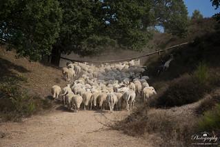 Sheeps on Posbank