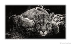 Cougar Town (Robert Streithorst) Tags: cincinnatizoo cougar mono robertstreithorst zoosofnorthamerica bigcat