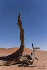 Erstarrt  II (LENS.ART Photographie) Tags: namib naukluft deadvlei sossusvlei namibia nikon d7200 wüste desert landschaft landscape sky düne dune trocken dry abgestorben kameldorn camelthorn sand abstrakt died