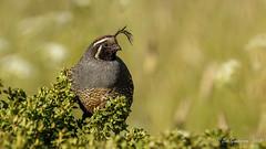 California Quail (m) (Bob Gunderson) Tags: birds california californiaquail callipelacalifornica marincounty northbay northerncalifornia tennesseevalley uplandbirds