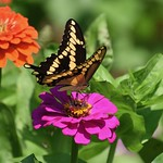 Giant Swallowtail (Papilio cresphontes) nectering from Zinnia thumbnail