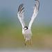 Tern Take-Off