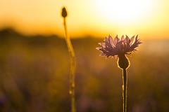 Blumenlicht (rahe.johannes) Tags: schleswigholstein blau blume wildblumen kornblume stohl schwedeneck sonnenuntergang ostsee küste steilküste derechtenorden meinsh gegenlicht