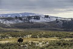 Lamar Valley (Khurram Khan...) Tags: bison lamarvalley yellowstonenationalpark sunset evening landscape wild wildlifephotography wildlife wwwkhurramkhanphotocom winter khurramkhan naturephotography naturephotos nationalpark