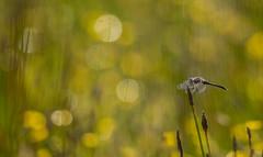 Moorland Oasis (Peter Quinn1) Tags: dragonfly blackdarter bigmoor oasis moorlandoasis darter derbyshire