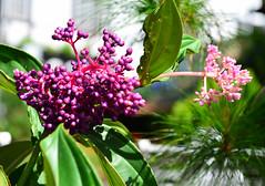 8H1_0385345 (kofatan (SS Tan) Tan Seow Shee) Tags: malaysia pahang cameronhighland copthornehotelsungeipalasbohplantation bharatteaplantation robinsonfall smokehouse brinchang tanahrata kofatan