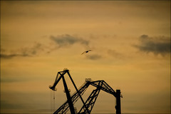 bird free (Armin Fuchs) Tags: arminfuchs stpetersburg russia crane sky bird clouds orange silhouette spring whitenights