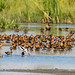 Long-billed Dowitchers & American Avocet