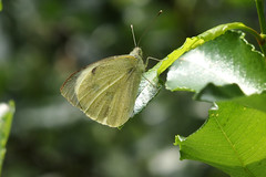 Liblikas (Jaan Keinaste) Tags: olympussh1 eesti estonia elusloodus fauna liblikas butterfly päevaliblikas