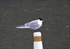 Forster's Tern (Sterna forsteri) 05-06-2018 Rocky Gap SP, Allegany Co. MD 4 (Birder20714) Tags: birds maryland terns sternidae laridae sterna forsteri