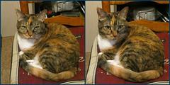 Gracie 5 July 2018 0020-0022 (edgarandron - Busy!) Tags: cat cats kitty kitties tabby tabbies cute feline gracie patchedtabby