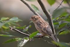 Wild House Sparrow (Photography by Eric Hentze) Tags: sparrow vogel bird wild wildlife leipzig outdoor nature nautrephotography nikon nikond7100 erichentze germany deutschland spatz park 2018 18300mm 18300 housesparrow animal animale animalphotography itsazoooutthere