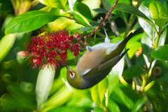 Wax Eye lll (fate atc) Tags: auckland bird nz newzealand northshore silvereye waxeye zosteropslateralis friendly newarrival selfintroduced small suburbia touhou