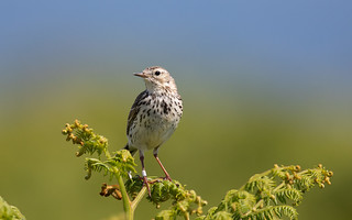 Meadow pipit on Skokholm