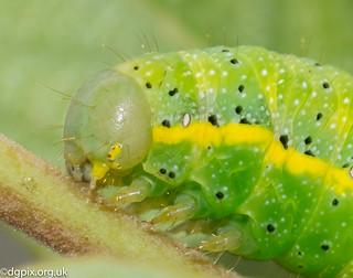 Bright-line Brown-Eye Caterpillar