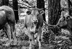 (Xavier Larrosa) Tags: animales animals lugo galicia spain cow vaca
