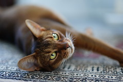 Lizzie relaxing on the Carpet (DizzieMizzieLizzie (Down for a while)) Tags: sony ilce7m3 sigma 50mm f14 dg hsm | art 018 abyssinian aby lizzie dizziemizzielizzie portrait cat feline gato gatto katt katze kot meow pisica neko gatos chat ilce 2018 bokeh hot summer night sonya7miii oriental carpet relaxing pet sport