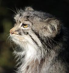 Manul Blijdorp JN6A6358 (j.a.kok) Tags: manul felismanul feline pallascat pallaskat cat kat animal asia azie china mammal zoogdier dier predator blijdorp