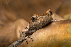 Malaysian Leaf Frog I (martinaschneider) Tags: megophrysaceras malaysianleaffrog frog captive understoryenterprisesinc
