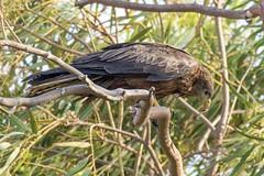 Black Kite (arthurpolly) Tags: avian blackkite birds beautiful bird canon abuko 7dmk2 100400is eos elements13 flickrdiamond kite nature naturesfinest nationpark photoshop gambia wildlife wild exotic z