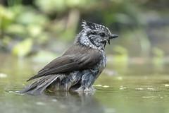 Bathing Crested Tit - HBN-hut 1XL - Delden - The Netherlands (wietsej) Tags: bathing crested tit hbnhut 1xl delden the netherlands bird sony rx10iv rx10m4 rx10 iv