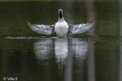 VFI06674 (Ville.fi) Tags: kaakkuri pari poikanen perhe lampi järvi vesi ranta kaakkurilampi gavia stellata redthroated loon diver mökki metsä bird sony a7riii a7r3