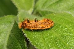 Lepidoptera sp. (Moth) - Isunga, Uganda (Nick Dean1) Tags: animalia arthropoda arthropod hexapoda hexapod insect insecta lepidoptera moth isunga kibale uganda kibalenationalpark