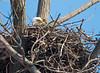 A bald eagle sitting on its nest! (WhiteEye2) Tags: baldeagle nest wildlife nature birds eagle