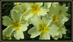 The Freshness Of Spring (M E For Bees (Was Margaret Edge The Bee Girl)) Tags: primula yellow flowers petals garden growing plants raindrops outdoors sun spring canon blooming