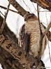 180413-21 Épervier de Cooper (clamato39) Tags: épervierdecooper coopershawk oiseau bird nature sauvage wild domainemaizerets provincedequébec québec canada animal