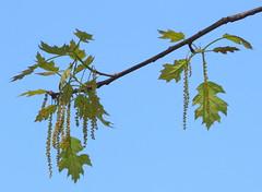 Pollen Factory (Reid2008) Tags: pollen oak oakleaf catkins oakflowers