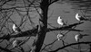 3+3 (Rourkeor) Tags: scotland unitedkingdom gb culzean pond tree branches birds reflections water bw ripples olympus omd em1mk2 12100mmpro mft ayrshire