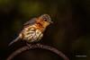 _DSC1004 (Chester Johnson) Tags: bluebird bird mississippi wildlife greatphotographers