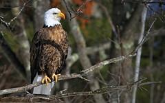 Bald Eagle Teal River Chequemagon N.F. (Direwolf131) Tags: