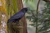common raven with a robins egg Victoria bc (lee barlow) Tags: nikon200500 vancouverisland leebarlow nikon corvuscorax ngc britishcolumbia birdsofnorthamerica commonraven birdsofbritishcolumbia canada britishcolumbiawildlife victoriabc d7200 birdsofcanada