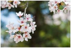 Sakura (zhafransyah) Tags: sakura cherry blossom hiroshima japan bokeh nikon landscapes flowers