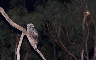 Powerful Owl (Ninox strenua) with Southern Greater Glider