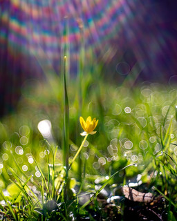 Buttercup, Lens Flares and some Bubbles