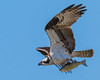 The Drop In... (ragtops2000) Tags: fish catch flying beautiful sky blue migrating osprey detail