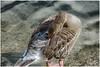 a duck in Saint James park ... (miriam ulivi - OFF /ON) Tags: miriamulivi nikond7200 england londra london saintjamespark duck germanorealefemmina femalemallard fauna nature