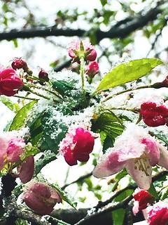Snow on my cherry blossoms! #April #snow #Kentucky #cherryblossoms #cherryblossom #tree #pink #nature #mybackyard