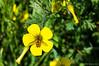 Oxalis pes-caprae (Miguel Sanchez Arteche) Tags: insectos fauna oxalis pescaprae oxalispescaprae