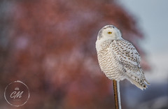 Snowy Owl (Cminor_photography) Tags: owl owlphotography owls snowy snowyowl white majestic beautiful raptor raptorphotography birdphotography birds birdwatch bird nature naturephotography natgeo wildlifephotography wildlife animal animalphotography canada canon canonphotography explore exploreontario life live stcatharines beak burgundy tree leaves photography sigma sigma150600
