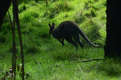 Jump! (moniq84) Tags: jump wallaby kangaroo kangaroos wallabies green philip island park wildlife australia travel world trees tree animal