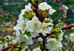 Apfelblüte   Apple Blossom (André-DD) Tags: baum tree spring frühling apfel apple blossom blossoms blüten blüte natur nature pflanze plant frucht fruit