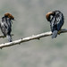 Pygmy cormorants_03